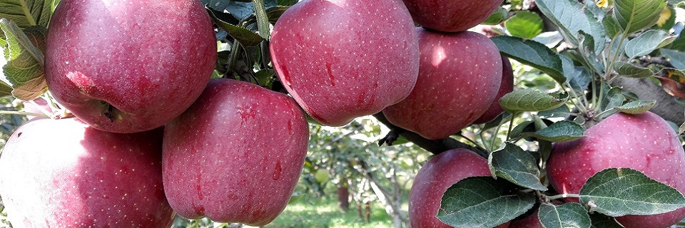 High quality apple production at Kulgam.