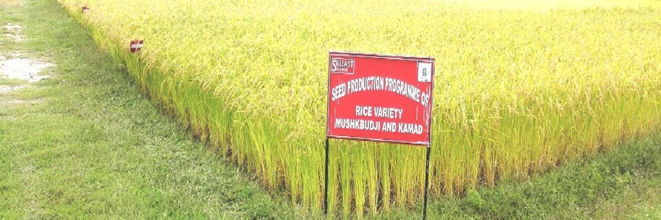 Paddy seed production programme at KVK